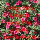 Calibrachoa Million Bells Kabloom Deep Pink