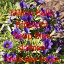 Calibrachoa Million Bells Kabloom Deep Blue