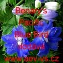 Ostrožka stračka Benary's Pacific Blue Bird