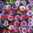Calibrachoa Million Bells Kabloom Denim